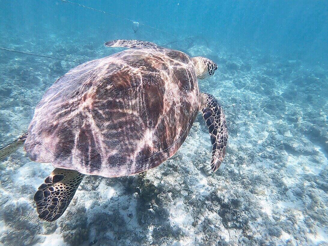 cebu-turtle